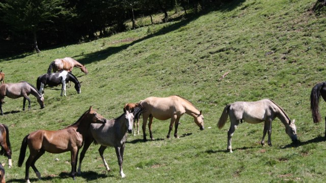 Anche le mucche e i cavalli vanno in vacanza Esino Lario-Cainallo